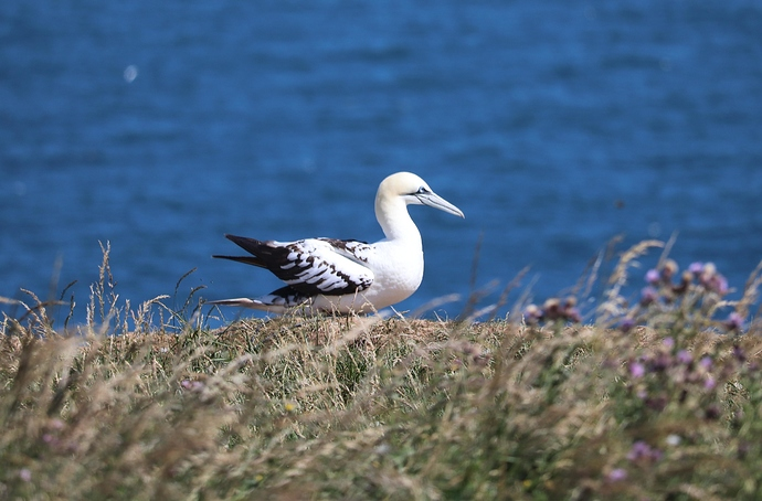 Young%20gannet%202